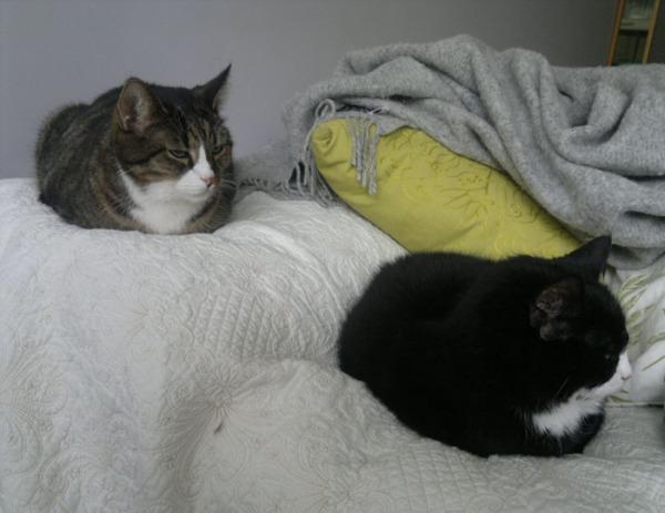 kaksi kissaa petillä