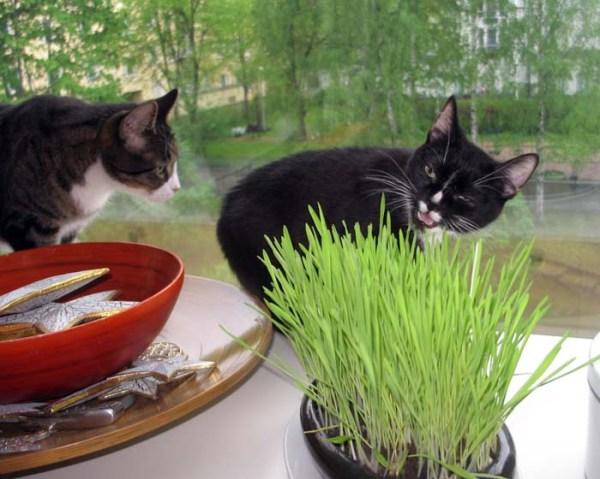 kisu syö ruohoa, toinen kyttää