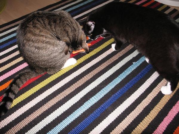 kissat tutkii oranssia kalaa naamat yhdessä