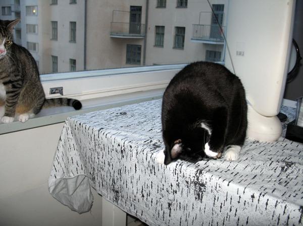Neljän kuvan verran Ilona riehuu cat dancerin kimpussa pöydällä. Zetor kyttää ikkunalaudalla