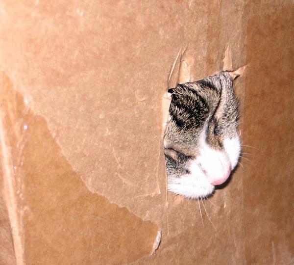Zetorin nenä näkyy laatikkoon leikatusta reiästä kun kissa puree reiän reunaa