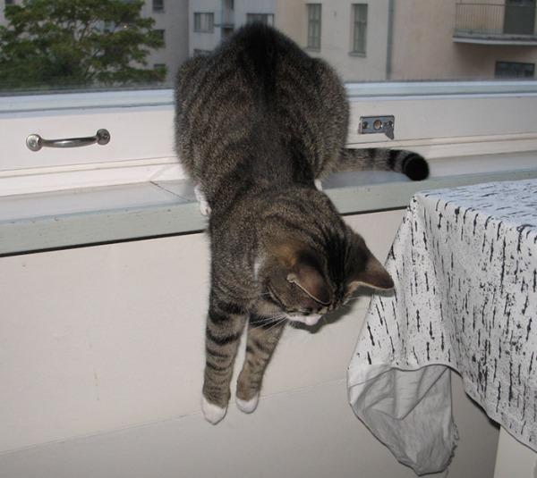 kolme kuvaa kun Zet roikottaa etutassuja pöydänreunan yli tai ikkunalaudalta alas