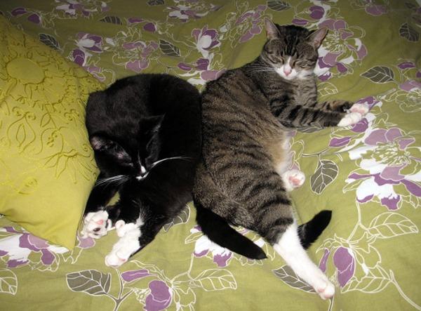 kisut nukkuu petillä selät vastakkain