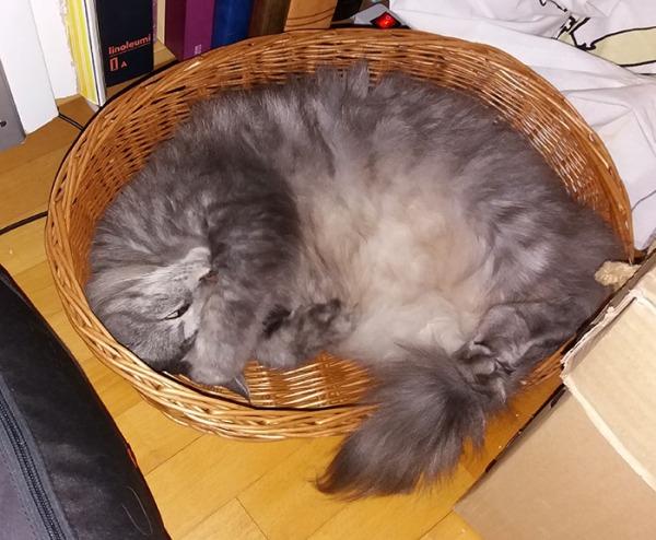 harmaa pitkäkarvainen Ransu nukkuu kopassa, suojaa käpälällä silmiä