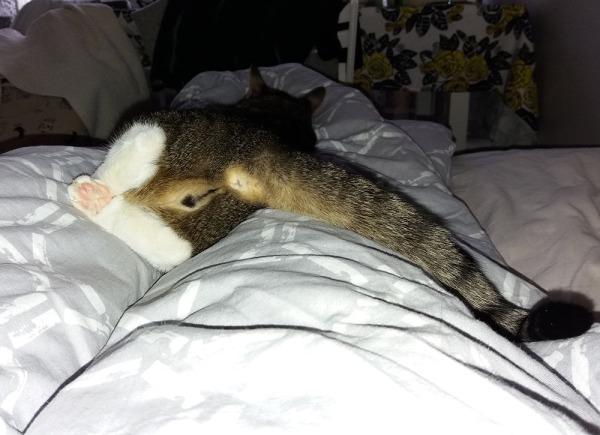 zetorin koko peppu näkyy suoraan kameraan, ksoka se nukkuu mun jalkojen päällä petissä ja häntä on sivussa