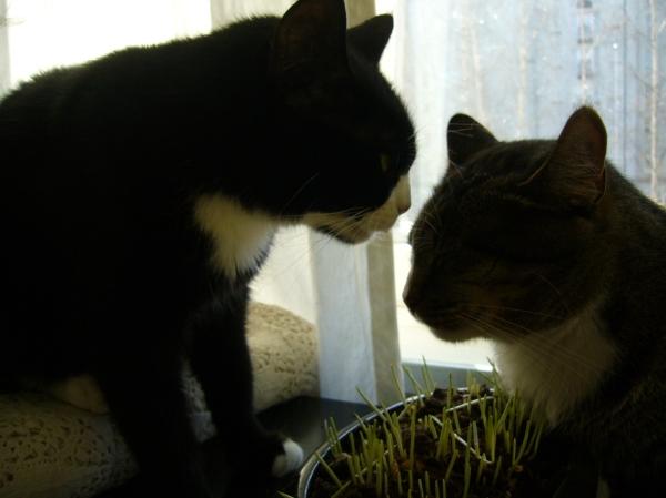 ruohoastian yllä kissojen naamat melkein vastakkain