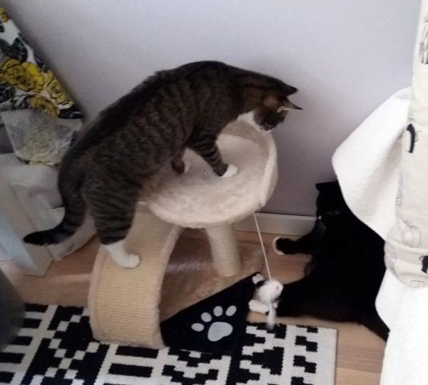 Pieni, hiukan yli kissan korkuinen teline jossa pääsee rapsuttelemaan kynsiä ja istumaan pehmeällä plyysillä, ja reunasta roikkuu kuminauhassa karvainen saalis. noi touhuaa kahdestaan siinä. Neljä kuvaa.