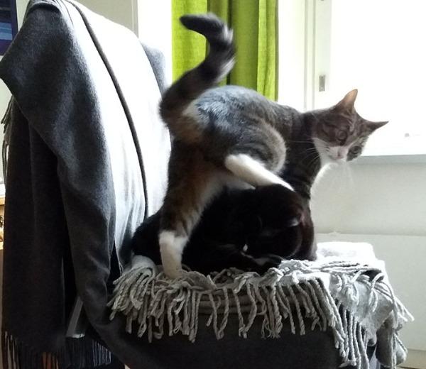 ilona köllöttää rauhassa tuolissa kun Zetor kömpii hänen yli. Täsä kuvassa zetorin takajalka on ilonan pään päällä, ja ilona ehkä ei kovin tykkää