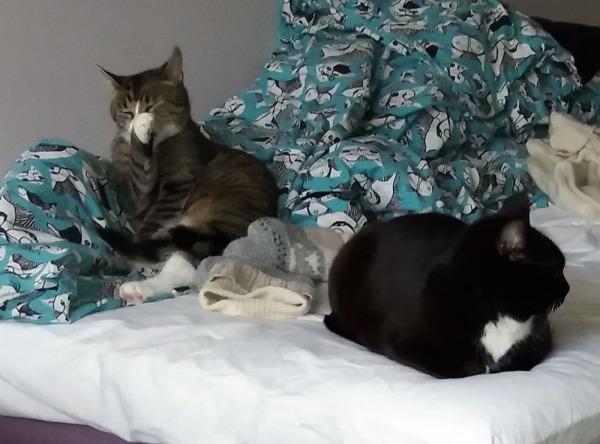 peti on laittamatta, kissalakana mytyssä kissojen takana. Ilona tekee nukkumista, zetor pesee naamaansa
