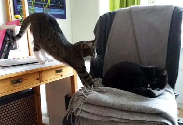 ilona tuolissa nukkuu, zetor kurkottaa pöydältä pitkänä kissana kohti ilonaa. Seuraava kuva samaa