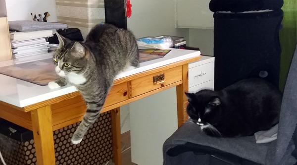 zetor roikottaa pöydältä tassua lelulaatikkoa kohti, Ilona nuokkuu viereisellä tuolilla