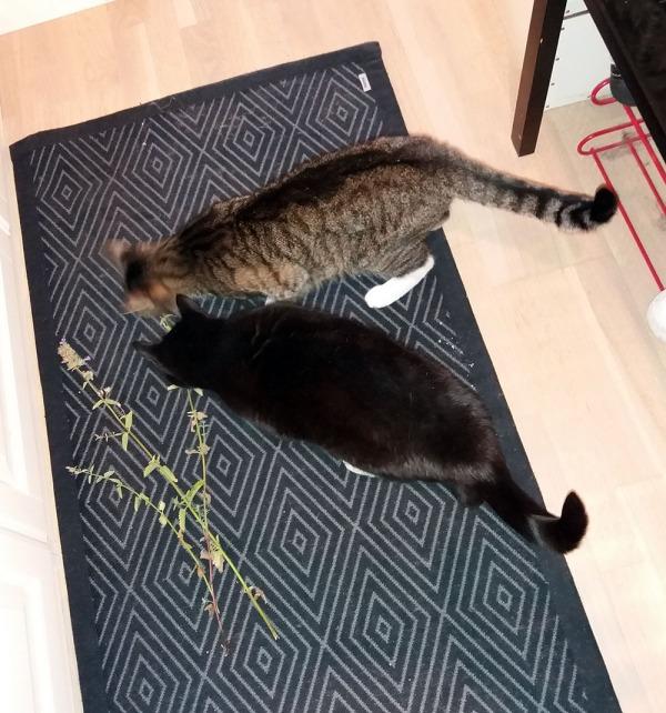 kolme laventelinoksaa eteisen lattialla ja kaksi nenua tutkimassa niitä