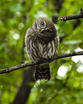 pöllö tilttaa päätä samalla lailla kuin zetor